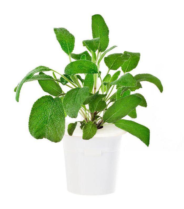 Nature's Enlightenment Sage plant