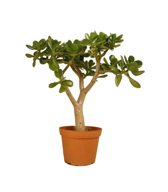 Target Potted Jade plant