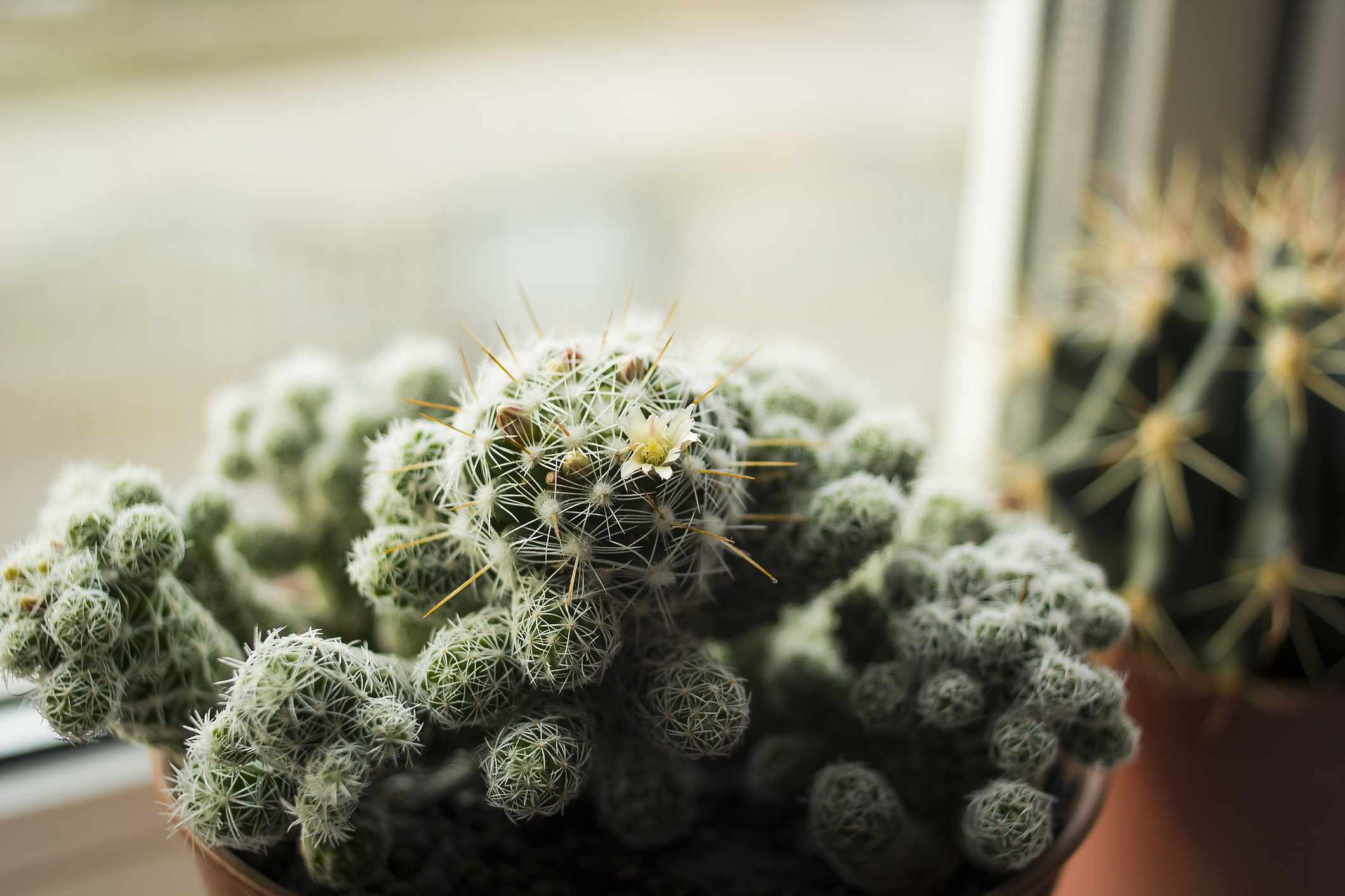 ladyfinger cactus with green flesh and white spines and one yellow flower in window