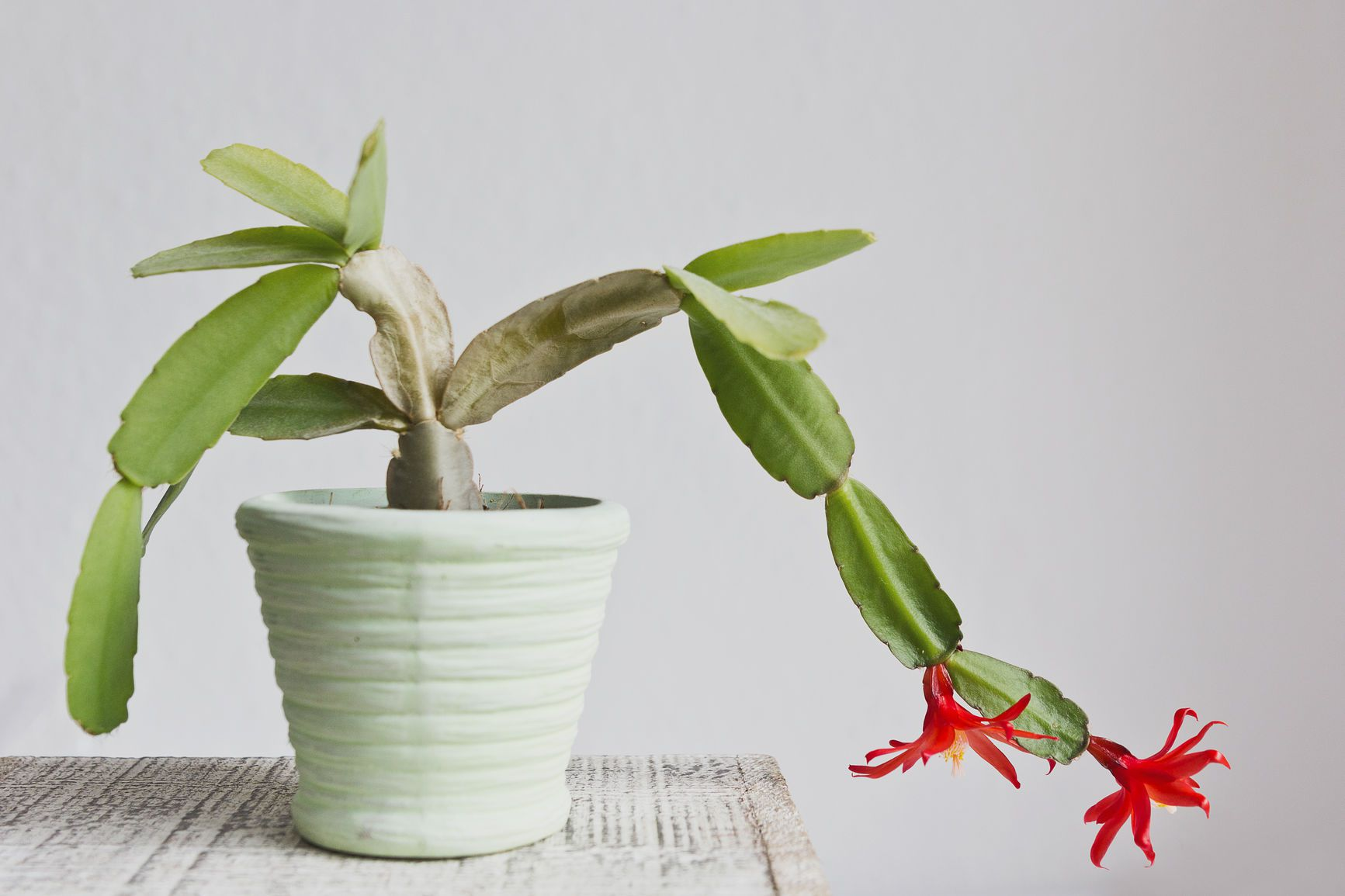 How To Care For Christmas Cactus.Christmas Cactus Care The Complete Guide