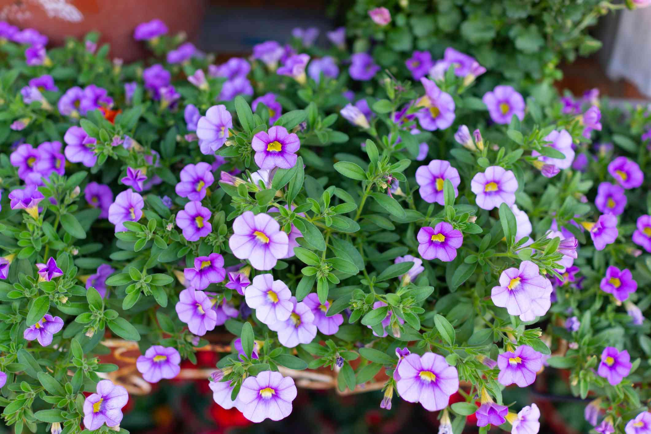 Bush of purple Calibrachoa flowers.