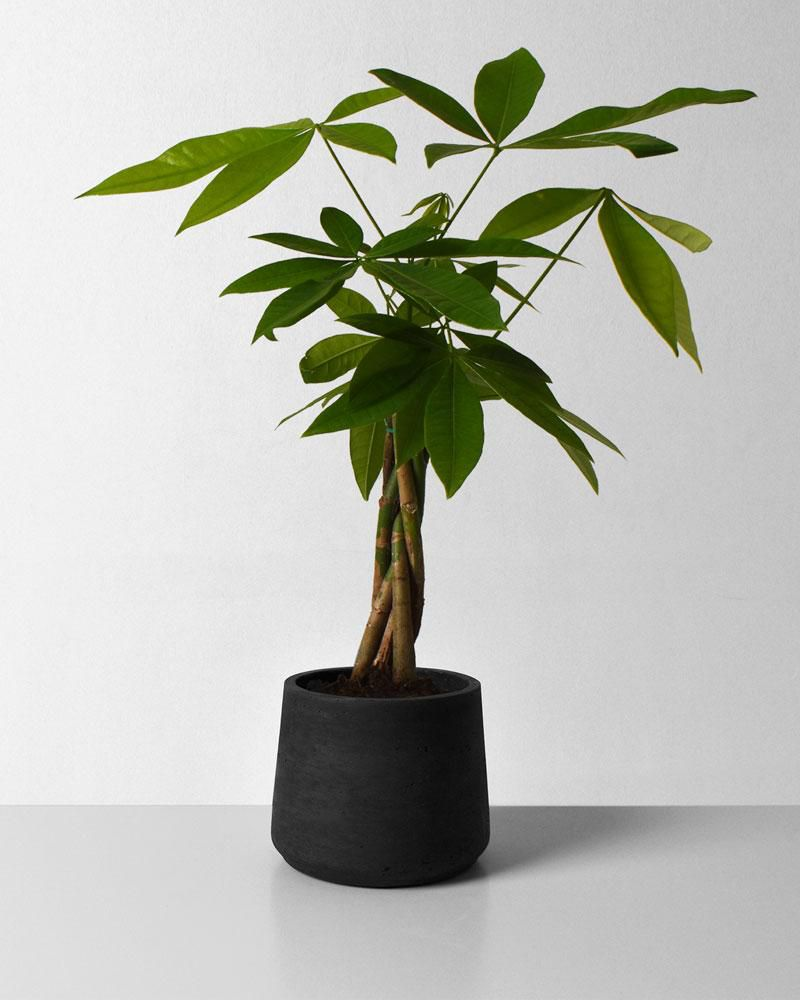 Braided money tree in black pot