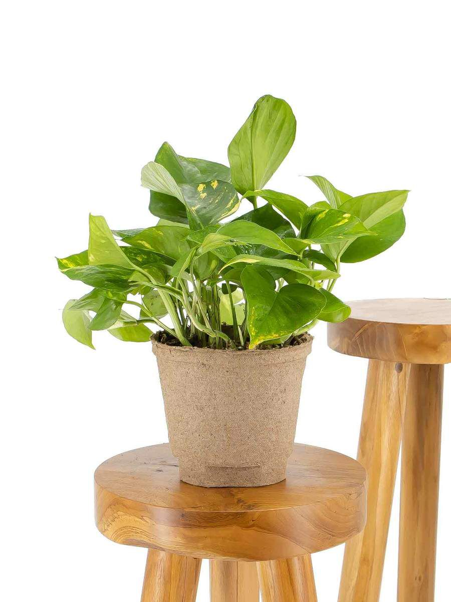 Golden pothos in a biodegradable pot on a wood stool