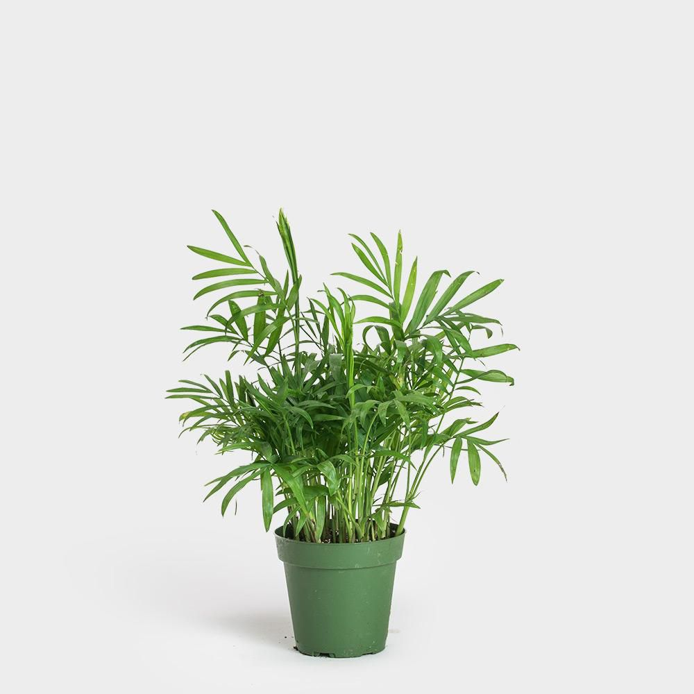Neanthe Bella Palm in a green grower's pot