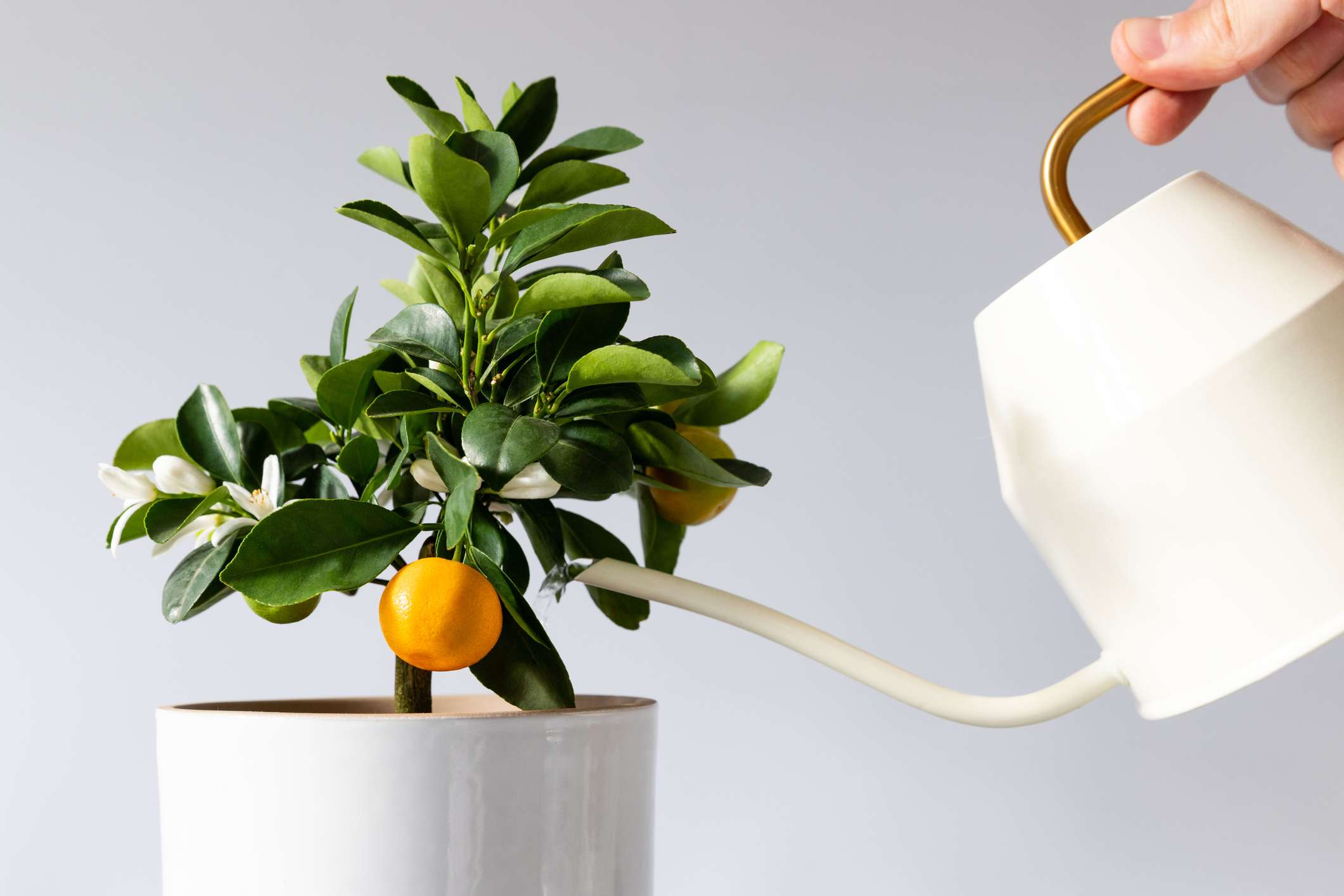 Man watering potted houseplant Citrus calamondin using a elegant white metallic watering can with long thin spout, yellow thin circular handle, white background.