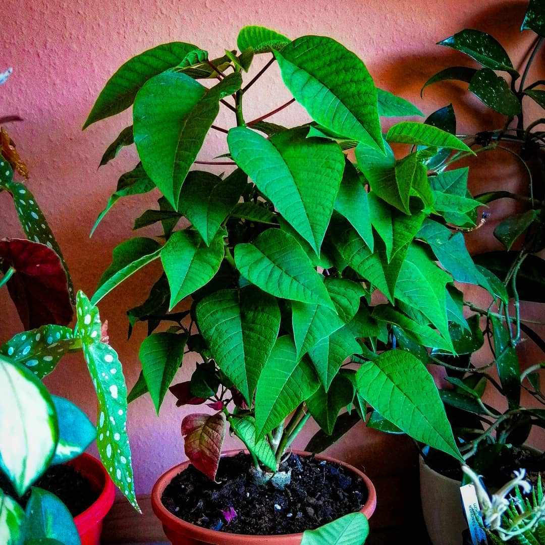 Potted green poinsettia