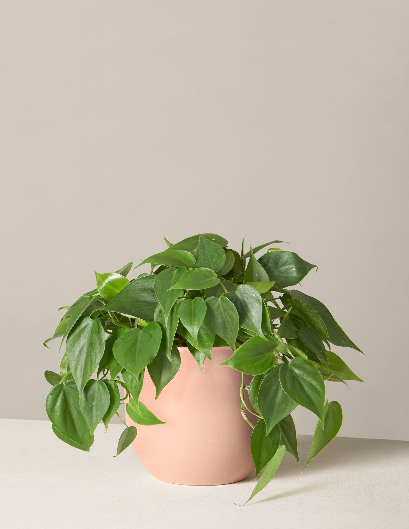 The Sill Philodendron Green