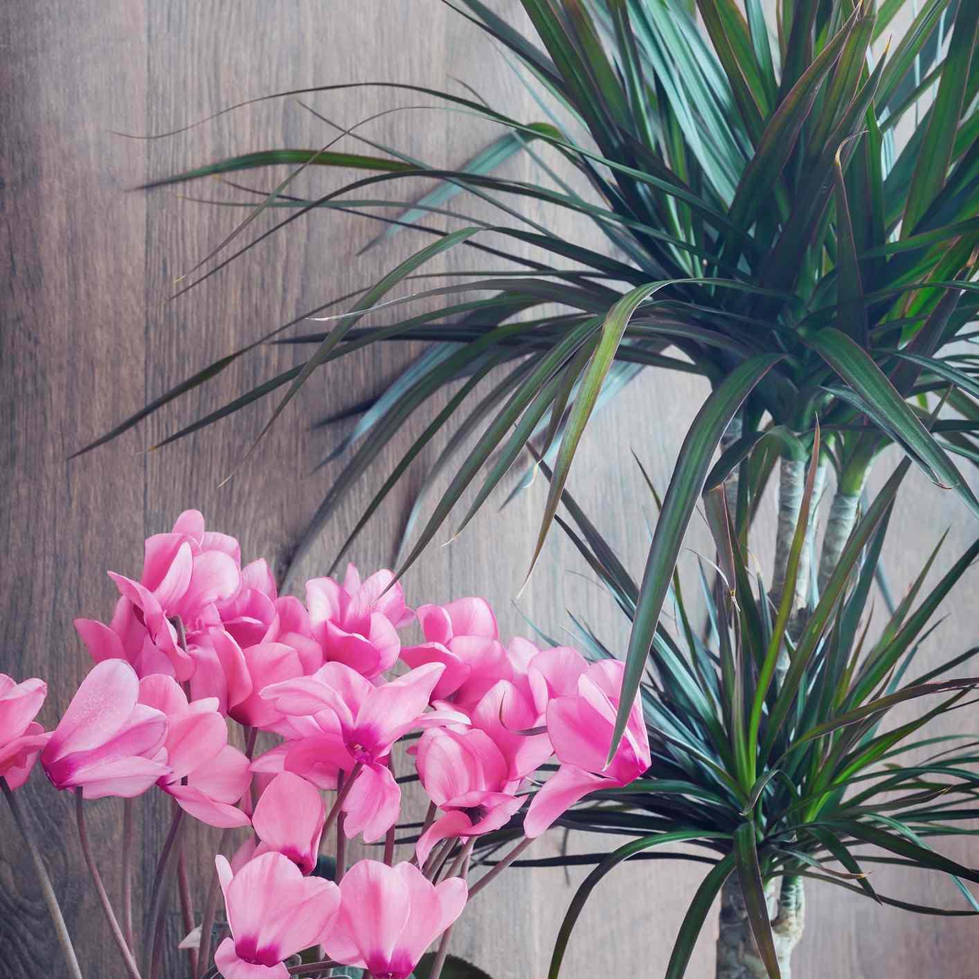 Pink cyclamen and spiky dracaena
