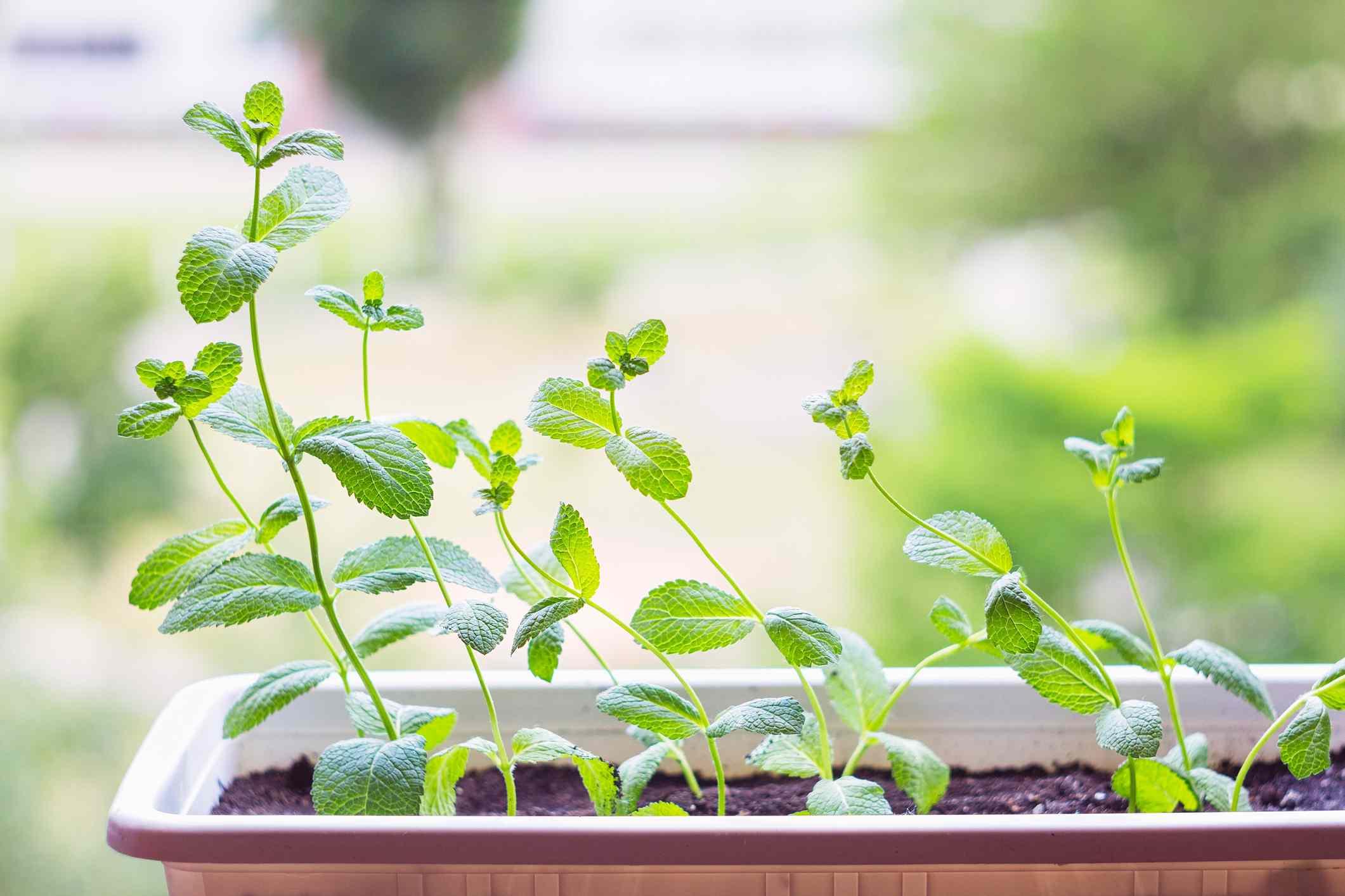 getty images kitchen herb garden mint