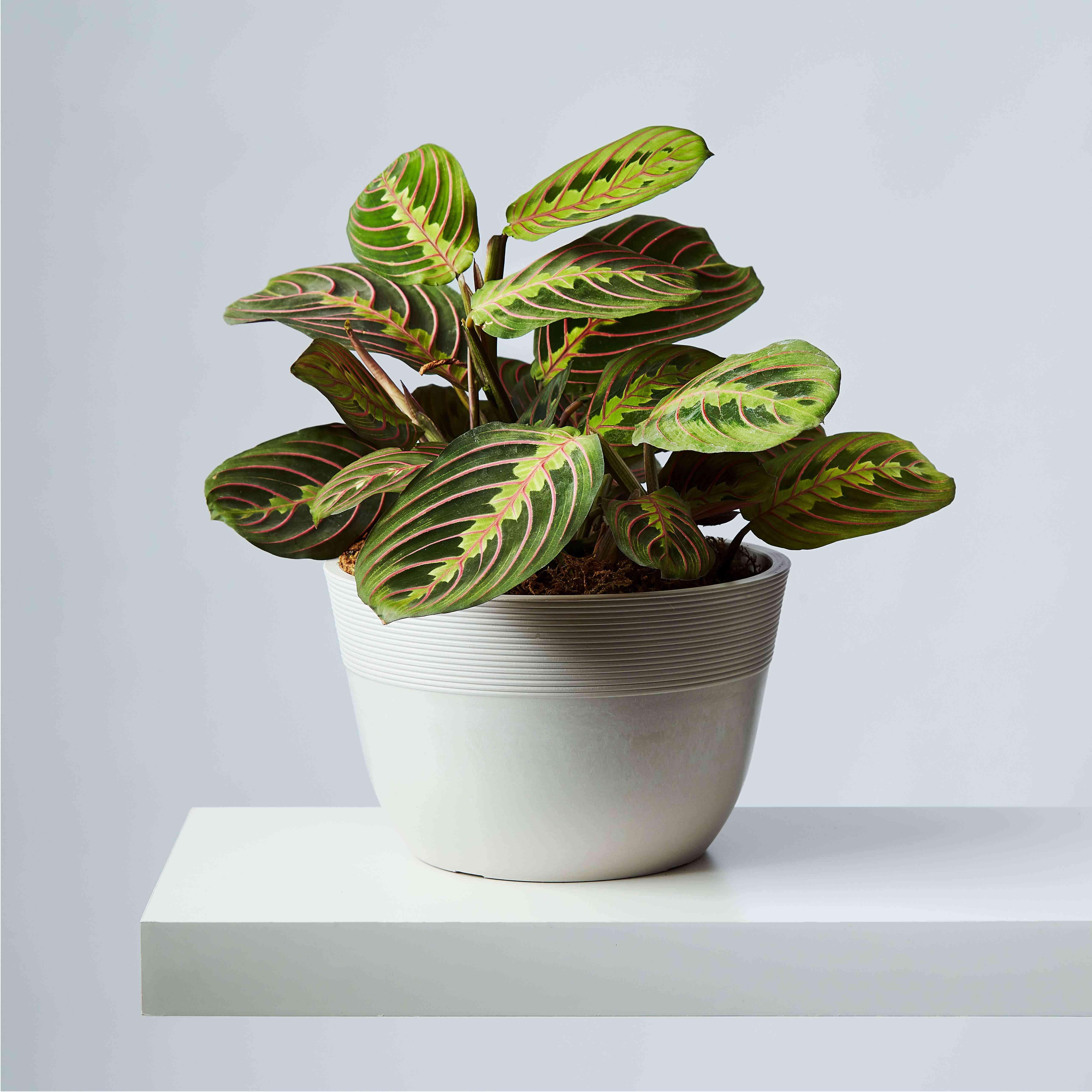 Prayer plant maranta in a ceramic pot on a floating shelf