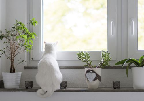 white cat with back to camera sitting on white windowsill with three potted houseplants