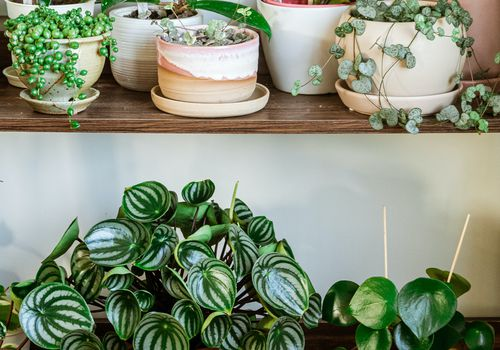 potted peperomia plants on wooden shelves in front of white wall
