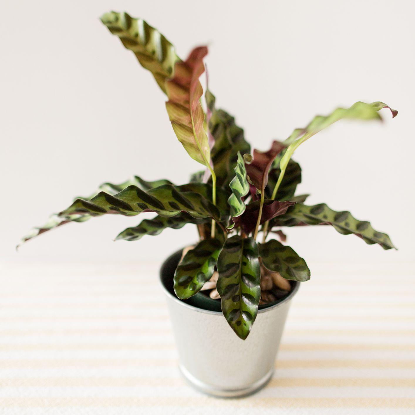 Rattlesnake plant in a metal pot