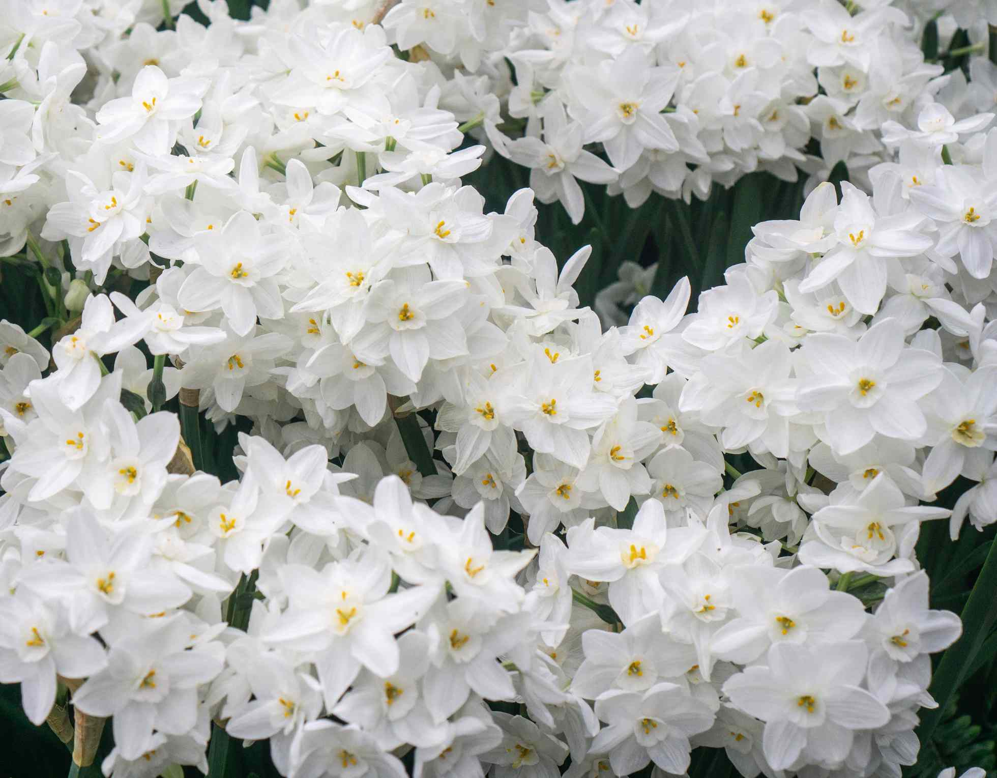 Close-up of several paperwhite narcissus plants blooming with white flowers and yellow centers