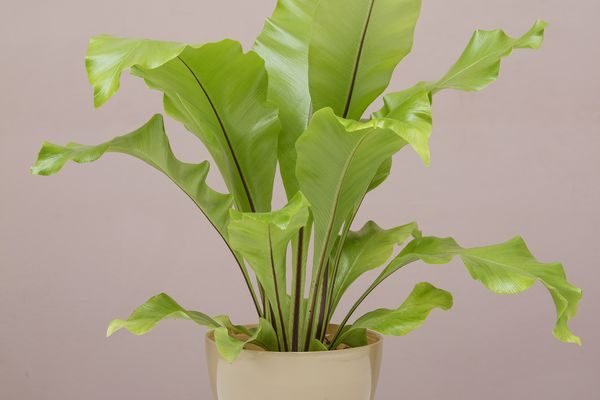 A bird's nest fern with ruffled green leaves