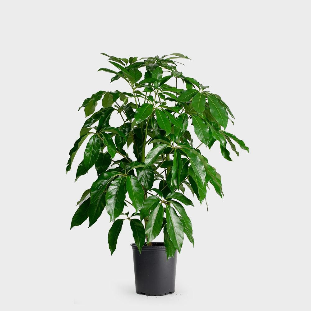 Schefflera Amate in a black grower's pot