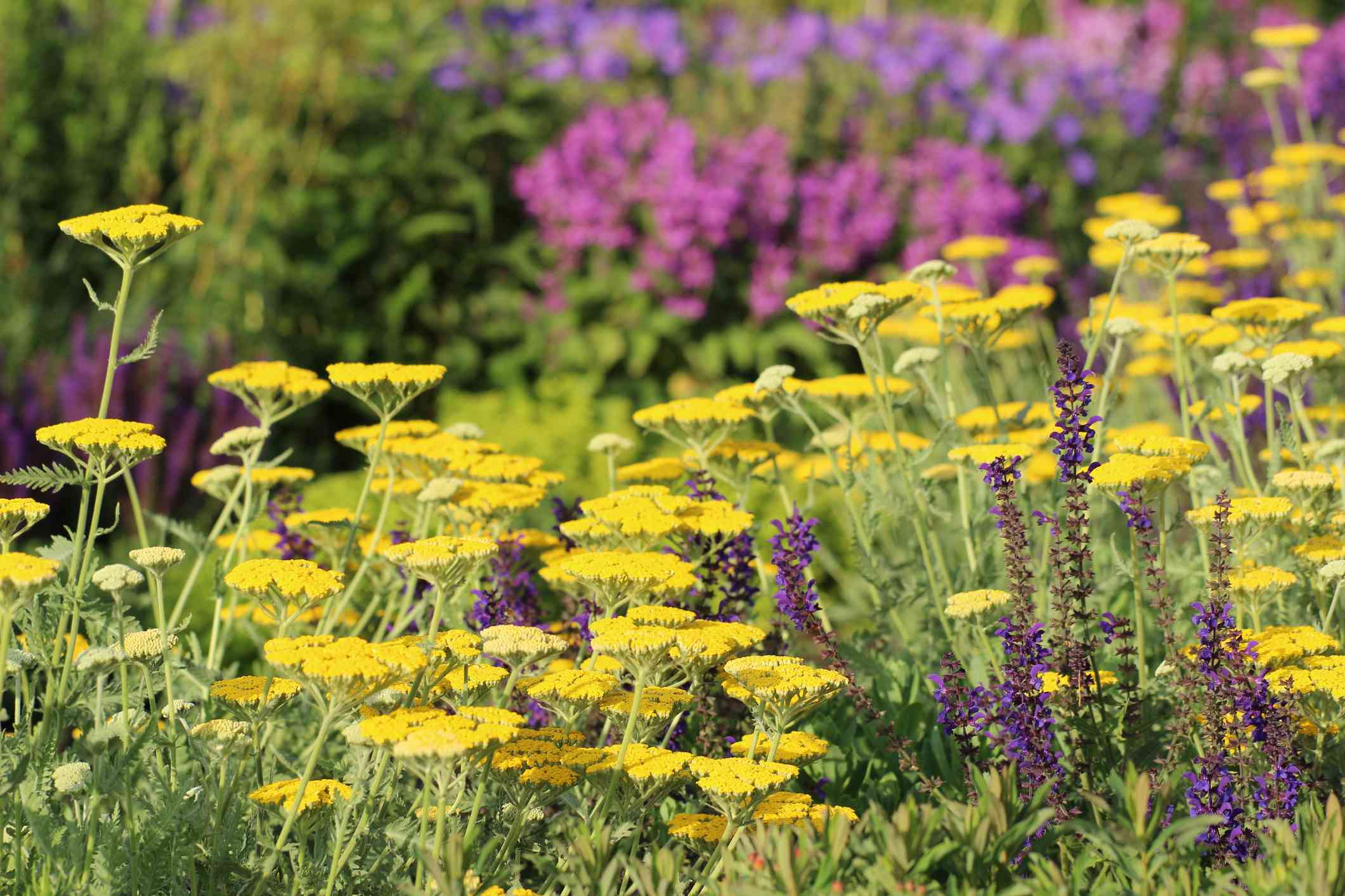 Wildflowers in garden.