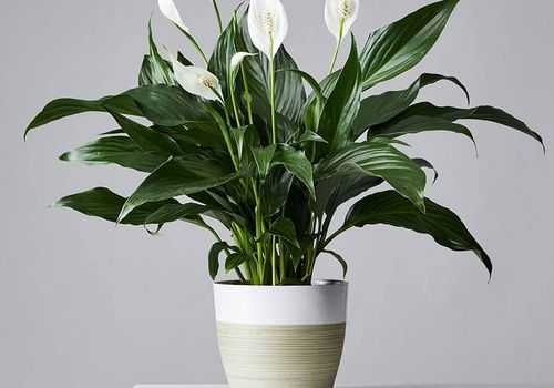 A peace lily with dark green leaves and white flowers