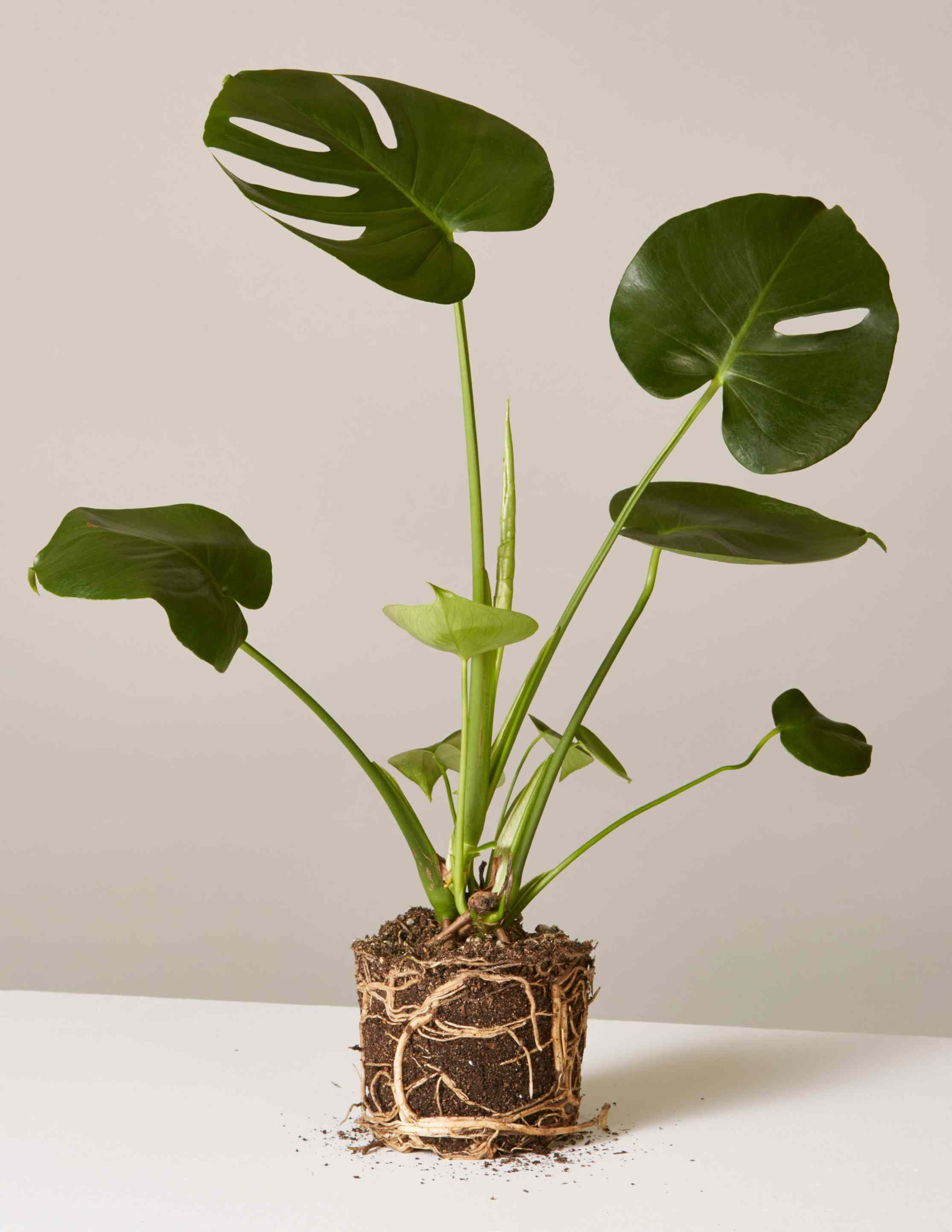 small bare root monstera houseplant