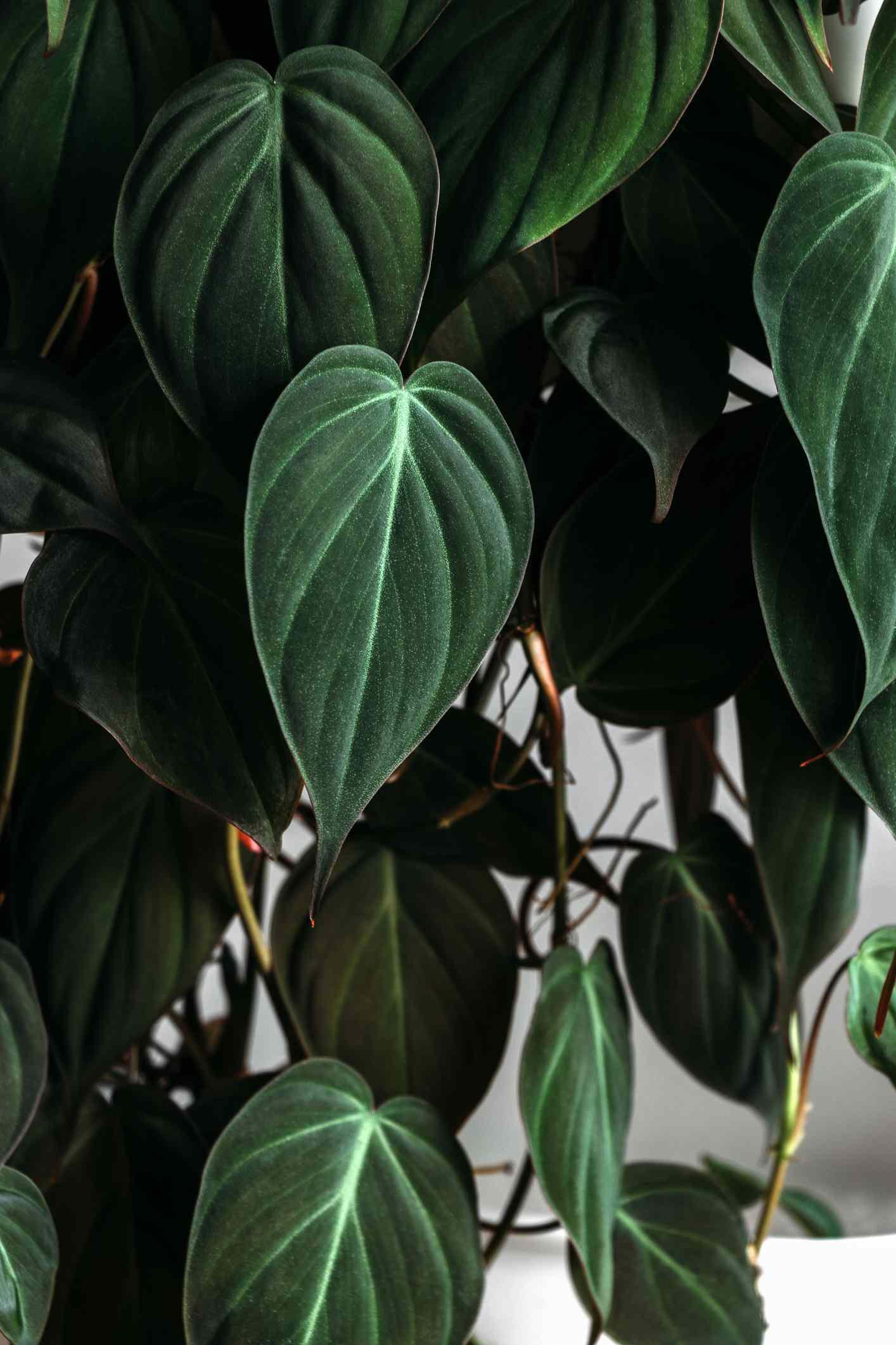 velvet leaf philodendron closeup