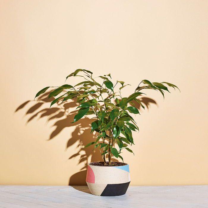 Low-Light Indoor Plants — Weeping Fig