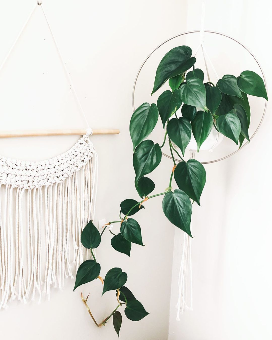 heartleaf philodendron plant on hanger with white tapestry in background