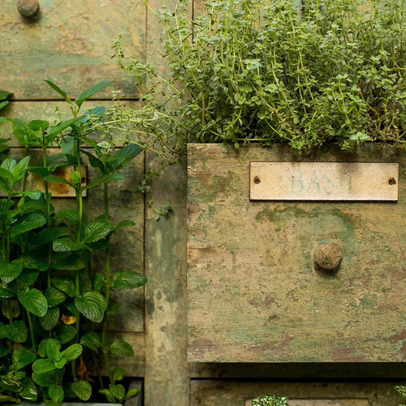 wooden card catalog with kitchen herbs growing in drawers