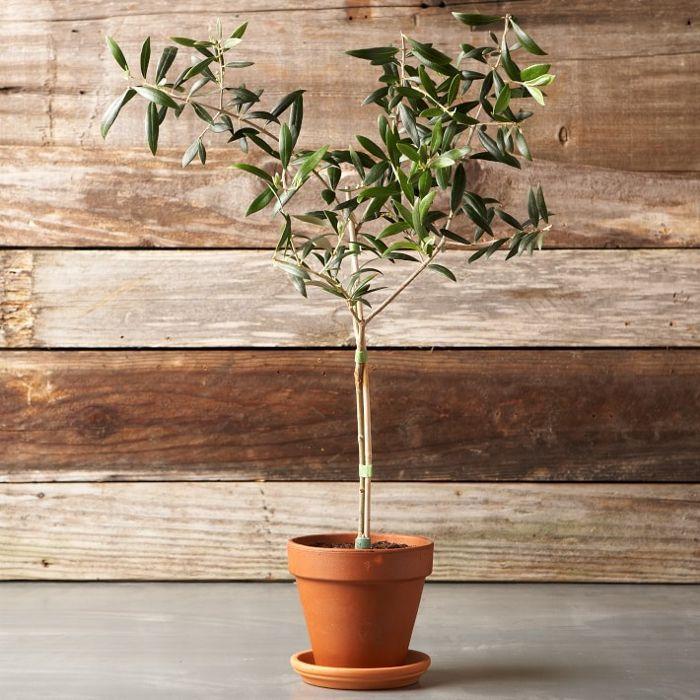William Sonoma Olive Tree