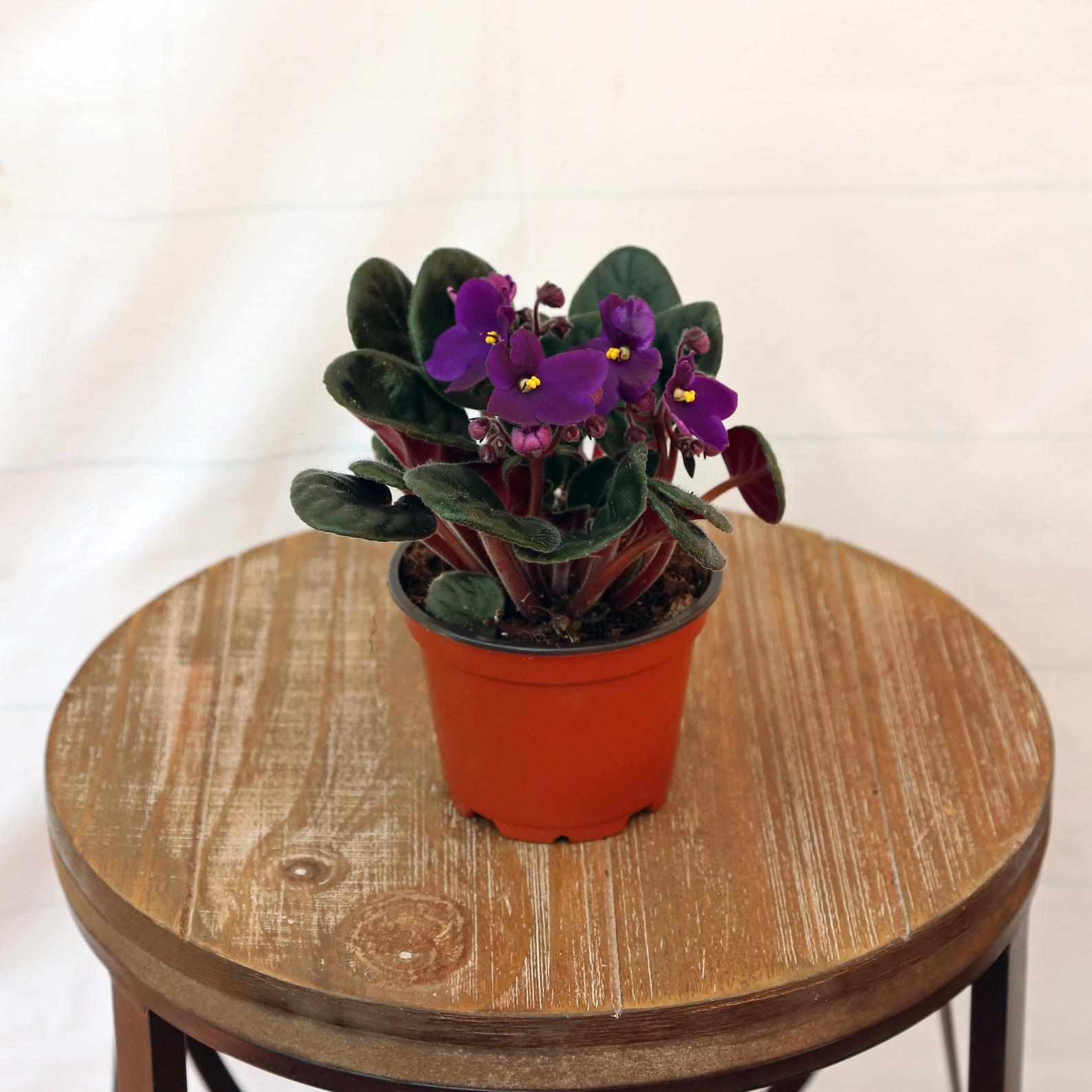 African violet in a grower's pot on a wood stool