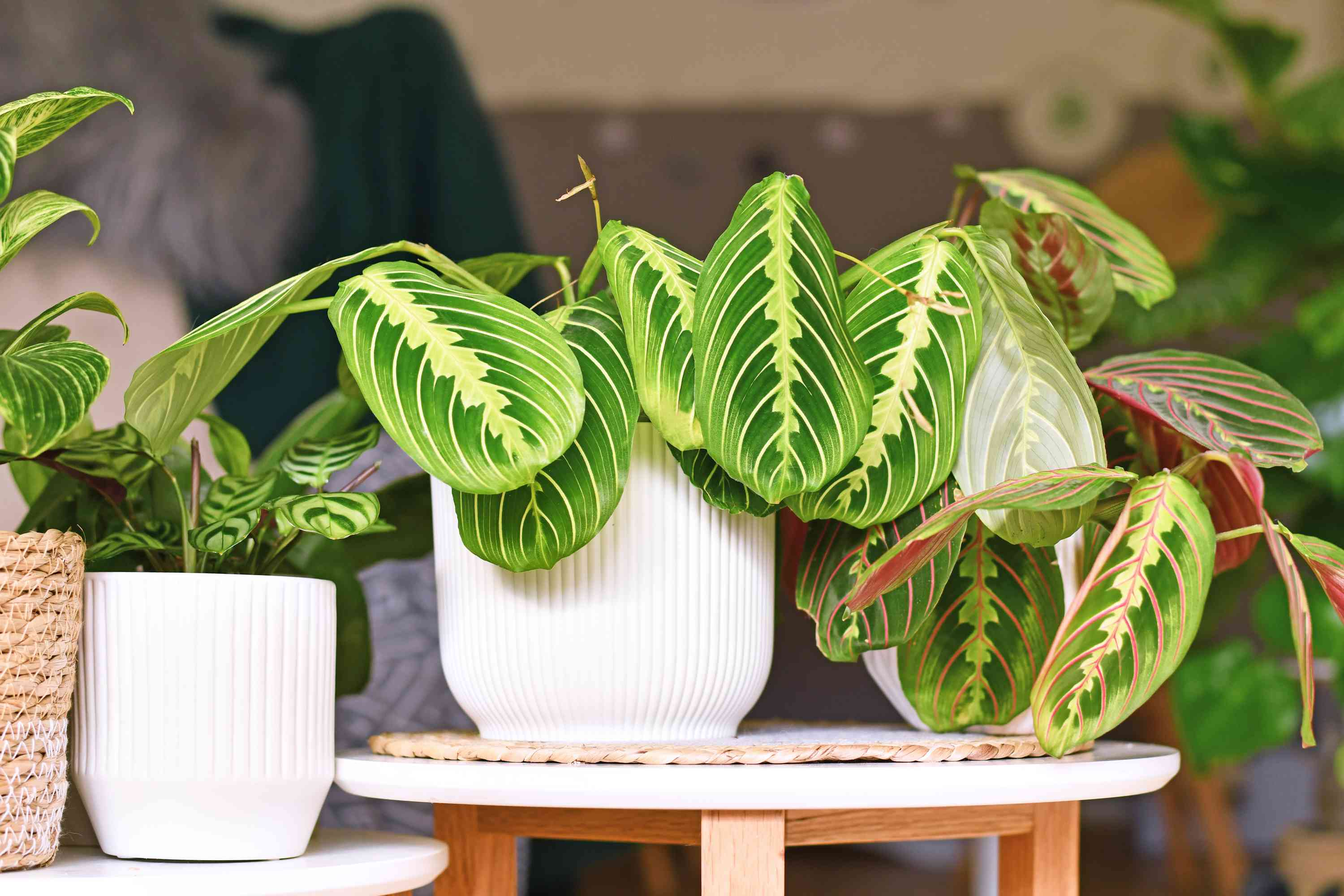 maranta plant with green and light green and red stripey leaves in white pot on small white table