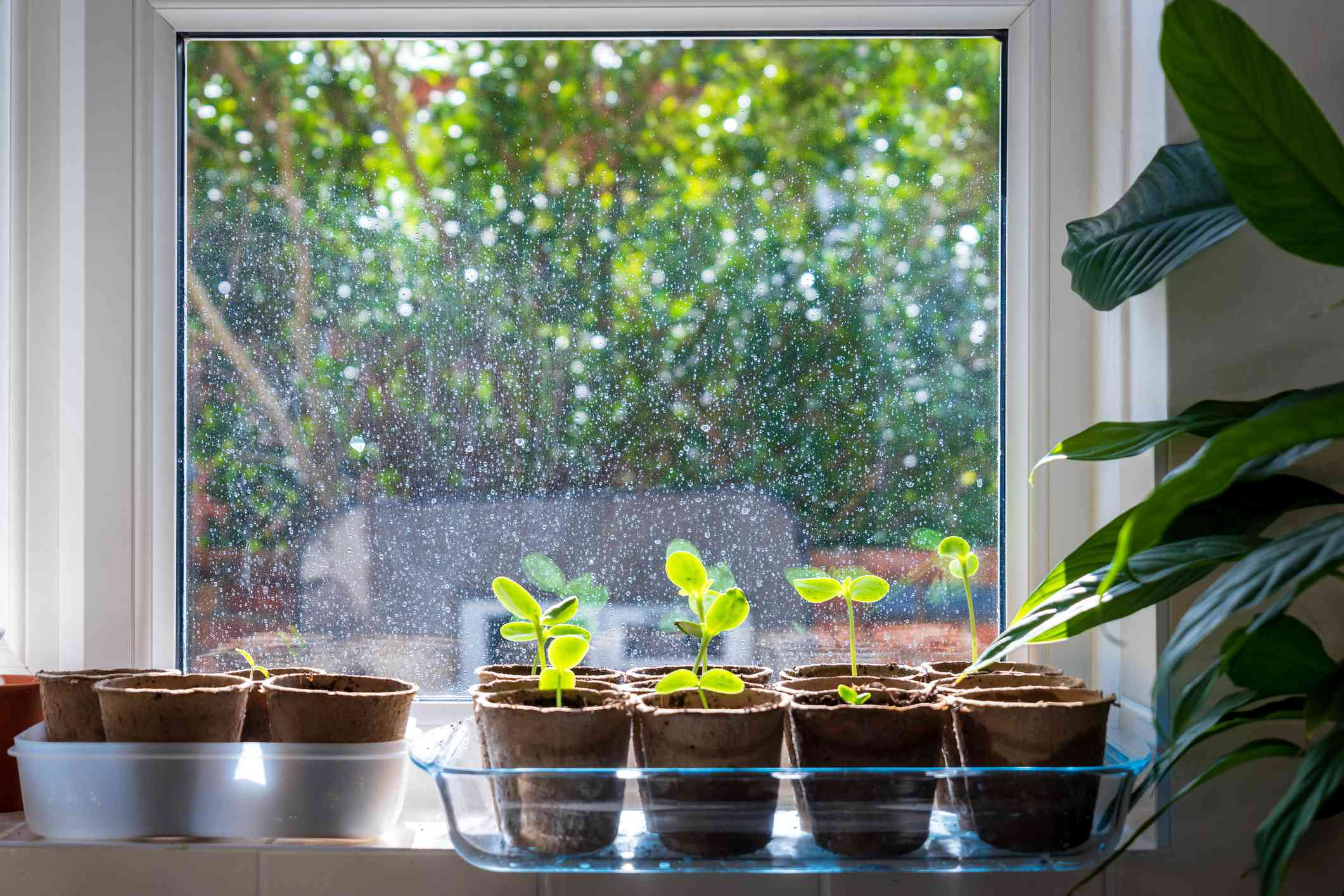 seedlings in windowsill