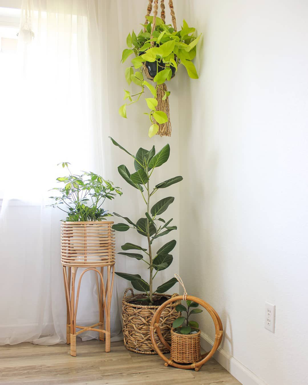 Ficus Audrey in a corner