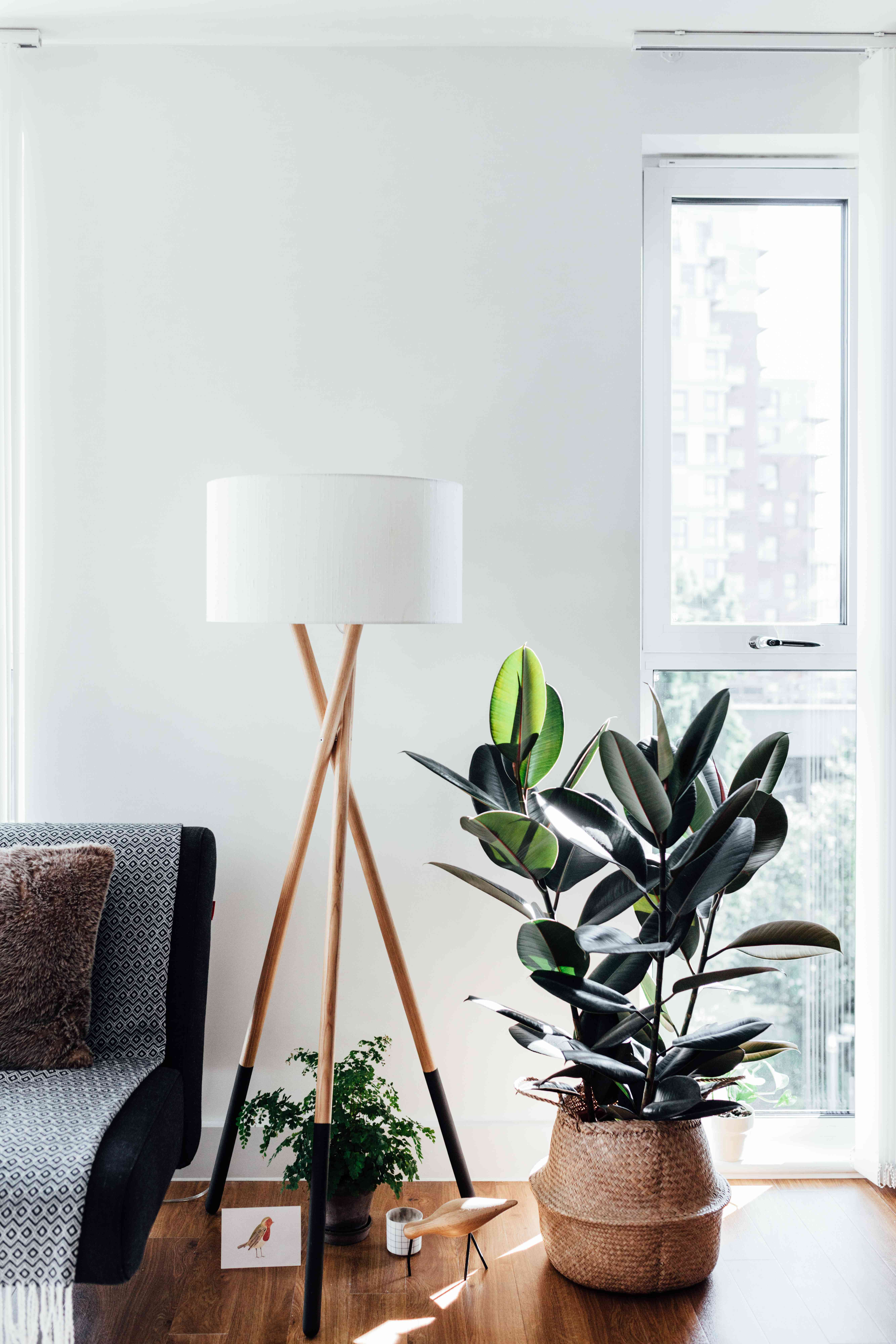 A corner of a stylish living room with a rubber tree.