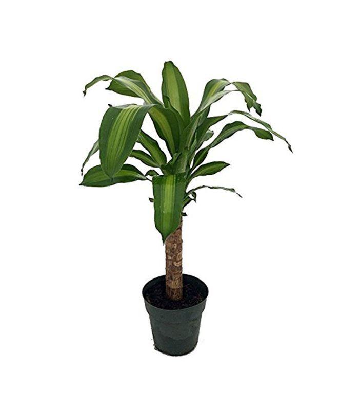 Hirt S Dracaena House Plant 10