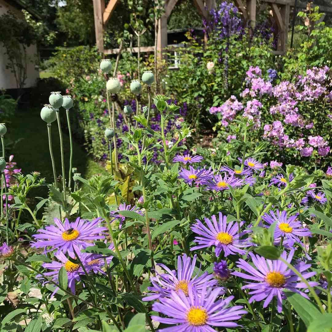 aster birth month flowers