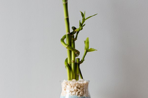 Lucky bamboo plant in clear vase