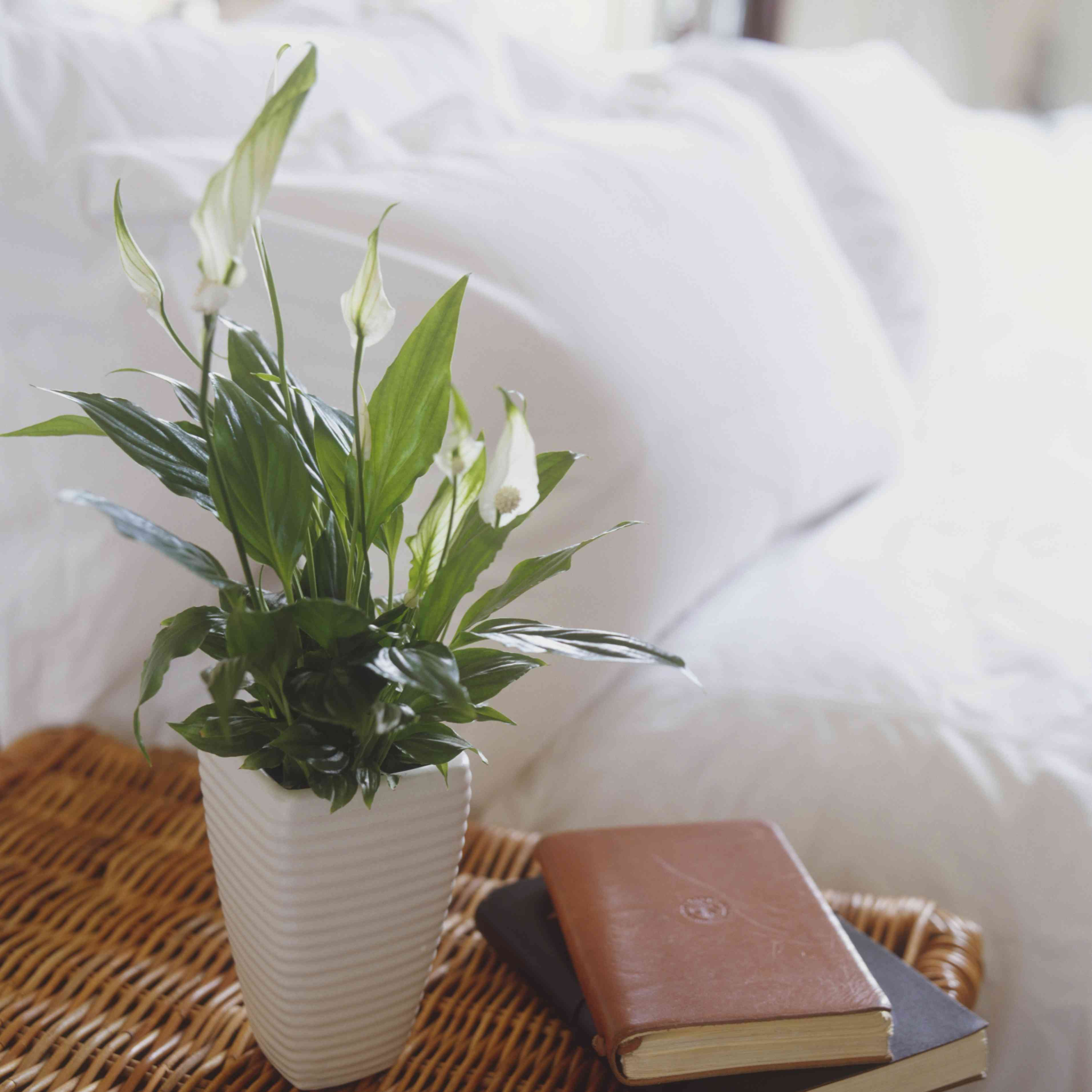 Peace lily with white flowers on bedside table