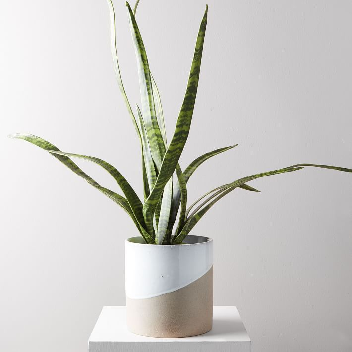 A faux snake plant in a ceramic tan and white pot.