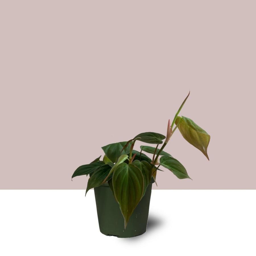 Philodendron Micans in a grower's pot