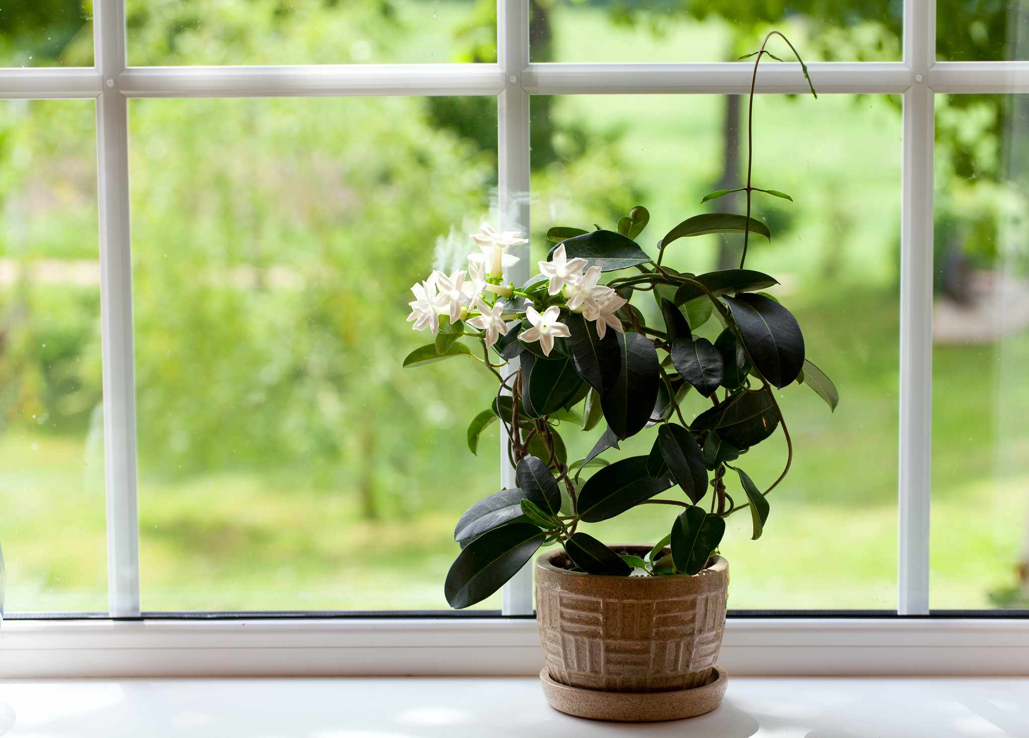 indoor jasmine houseplant with white flowers and green leaves on windowsill