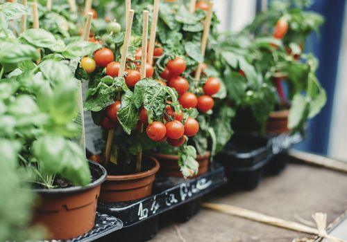 Tomatoes in containers.