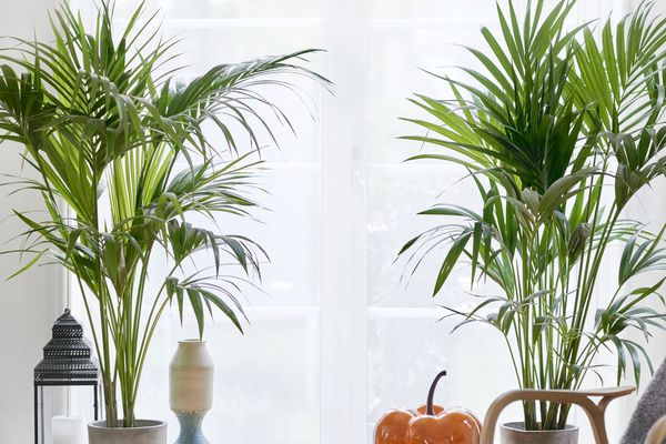Bamboo palms growing indoors in pots