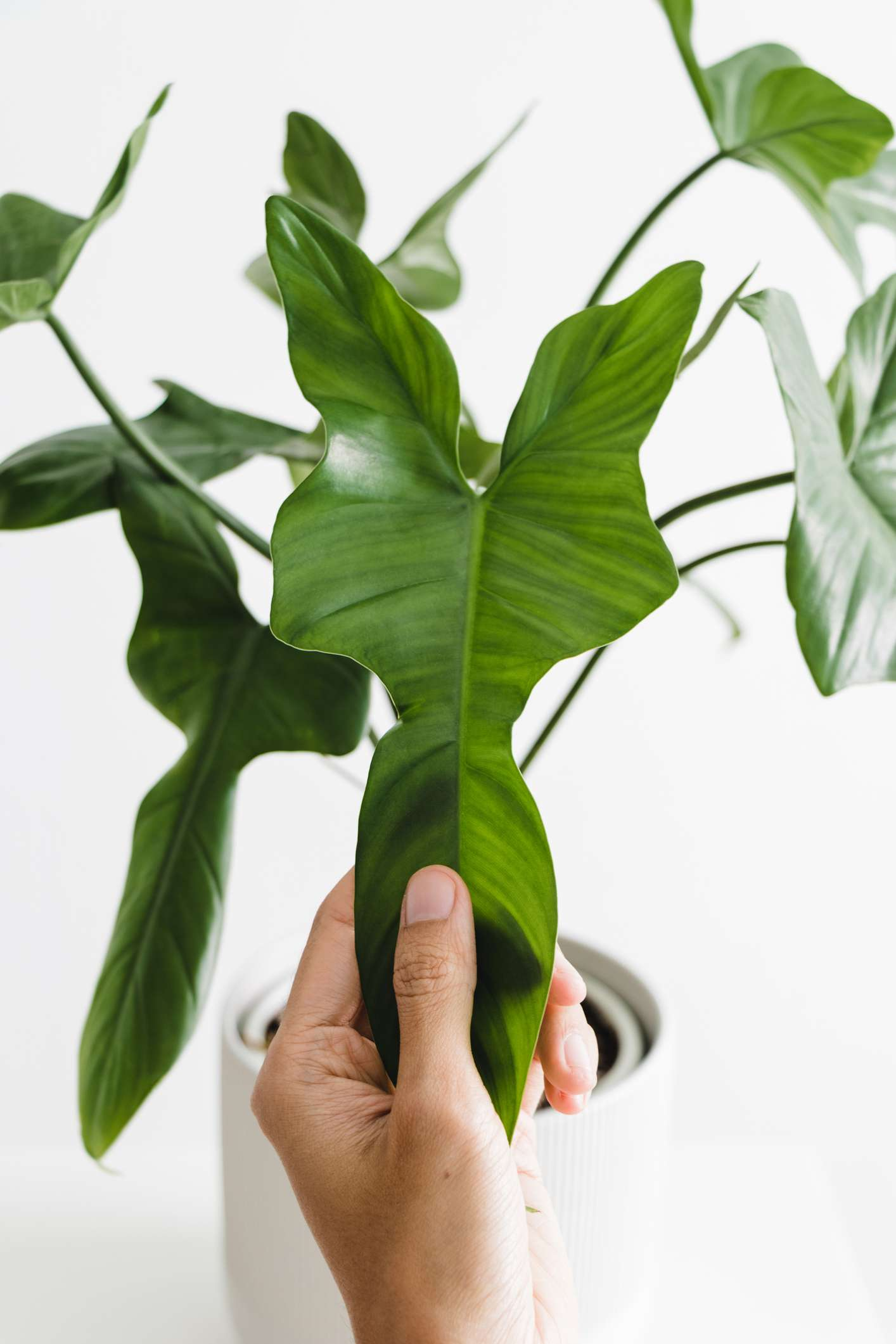 white person's hand holding leaf of philodendron bipennifolium schott plant in white pot against white background