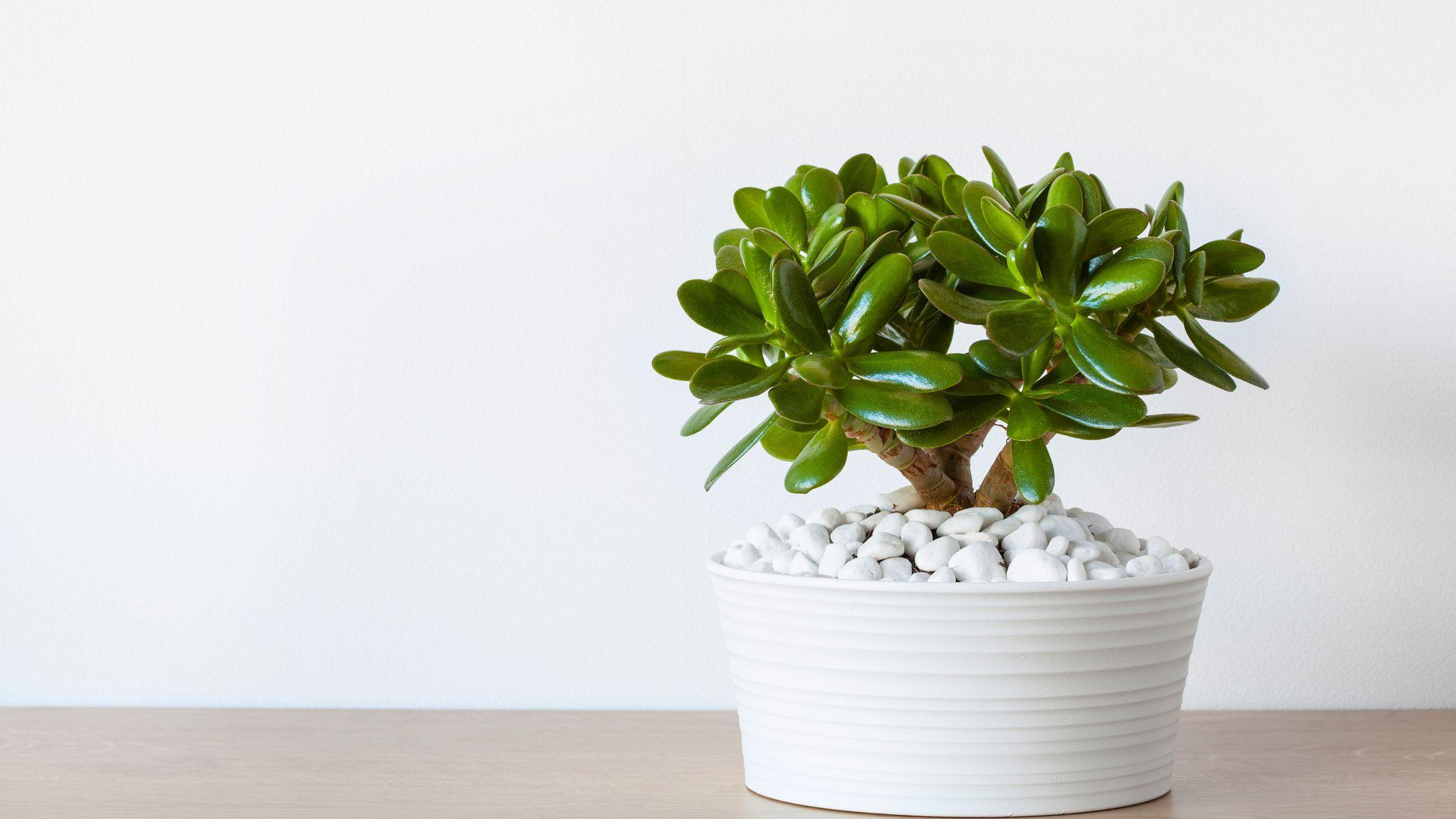 """three leaf cuttings Crassula Ovata Gollum /""""Hobbit/"""" succulent"""