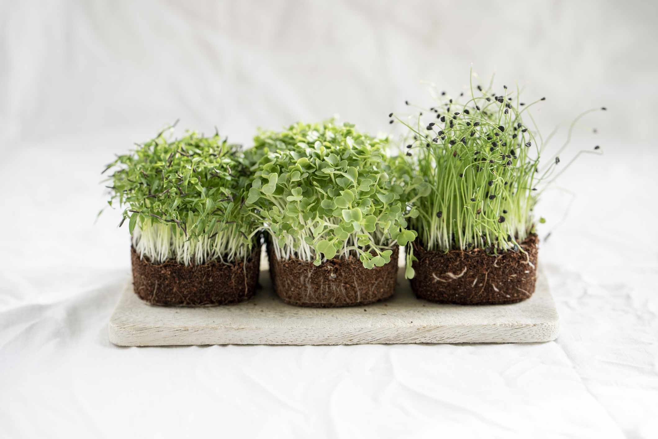 three clumps of microgreens growing in soil without pots on white background