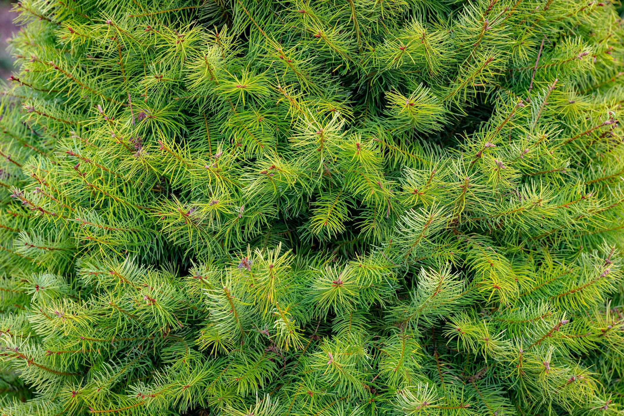 closeup of grand fir tree with brown branches and green needles