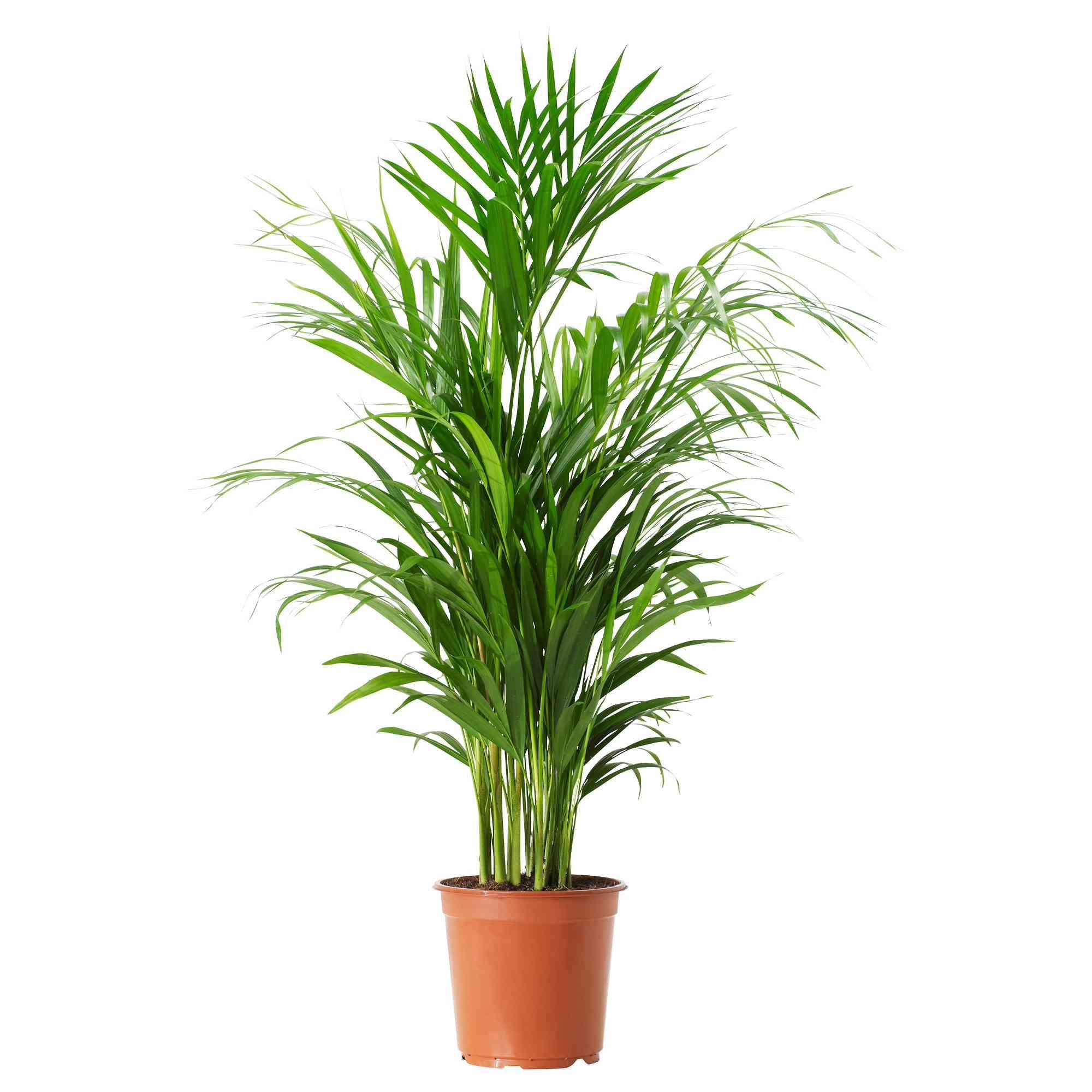 Chamaedorea Catara Potted Plant