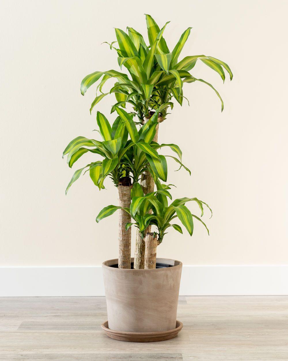 corn plant in pot