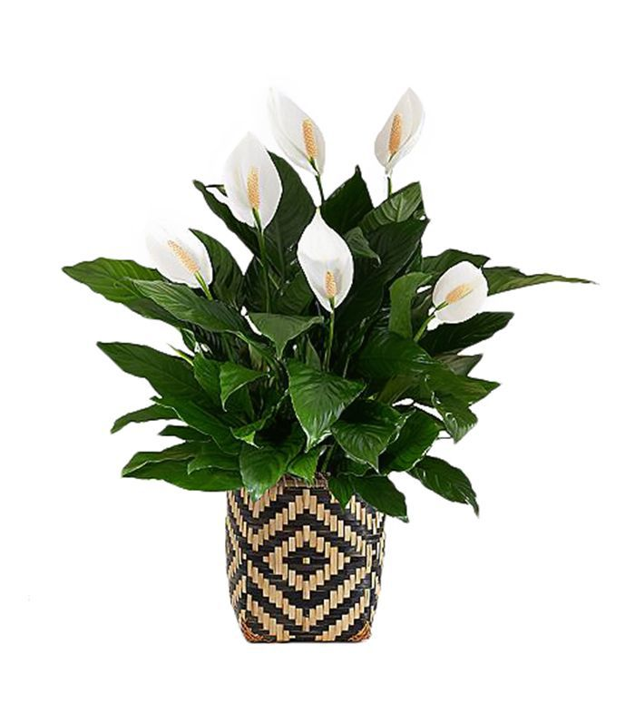 ProPlants Potted Peace Lilly