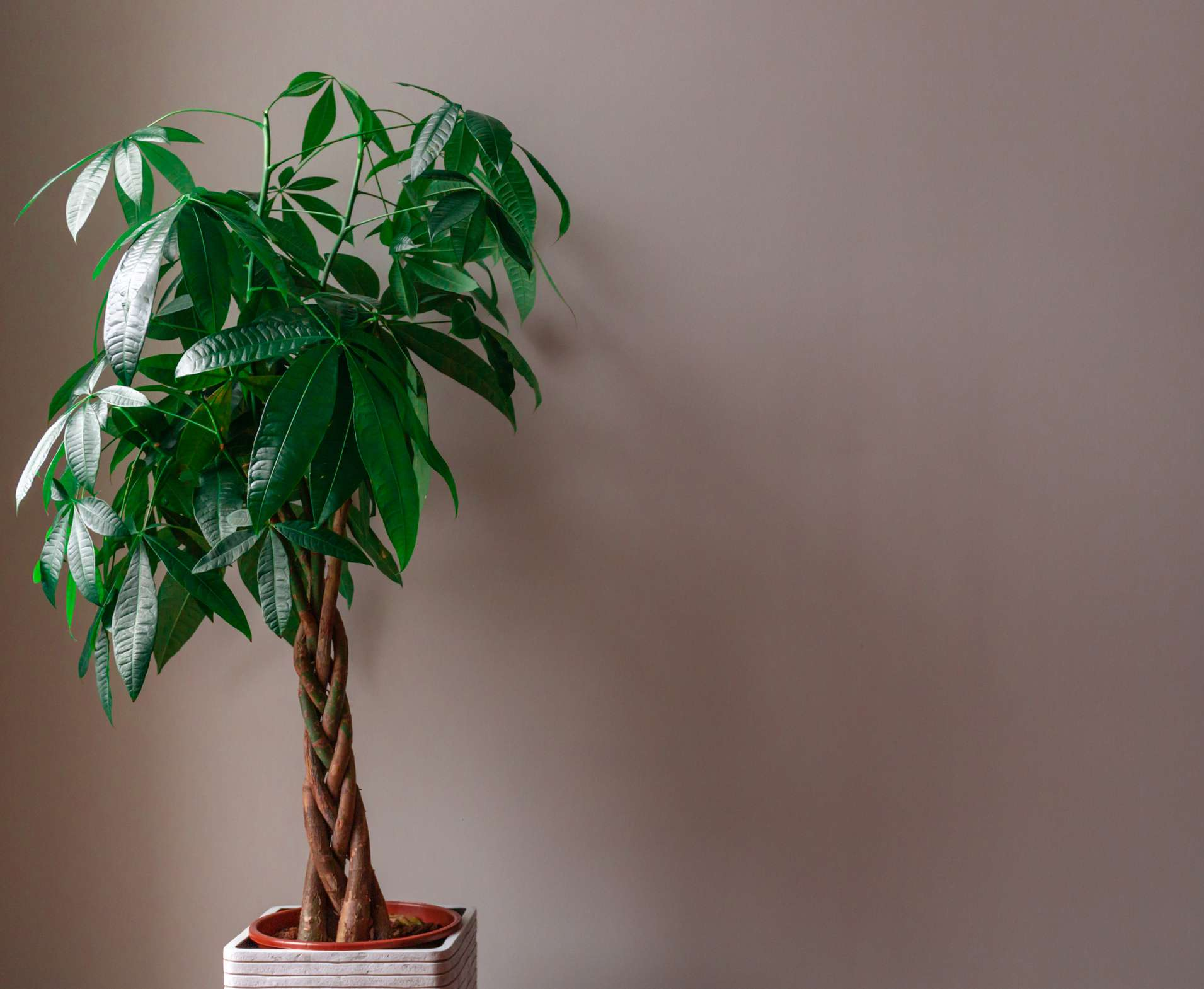 Tall money tree against a pink wall